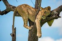 Tree-Lioness-masai-mara-kenya-shutterstock
